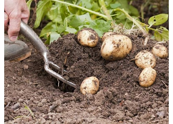 Мифы о выращивании картофеля