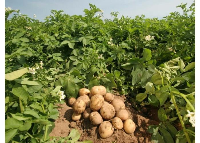 Какие окучники выбрать для прополки картофеля