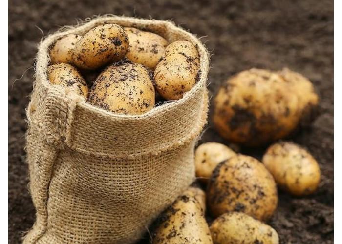 Когда начинать копать картофель и как правильно это делать?